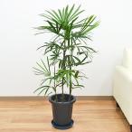 観葉植物 棕櫚竹(シュロチク)中鉢(8号)
