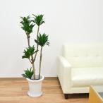 観葉植物 ドラセナ・コンパクター 中鉢(8号)