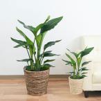観葉植物 ストレリチア・オーガスタ 8号 鉢カバー付き