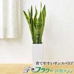 観葉植物 サンスベリア おしゃれ お祝い 陶器鉢植え #元気いただきますプロジェクト(花き)