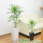 観葉植物 棕櫚竹(シュロチク) ロングスクエア陶器鉢植え 7号