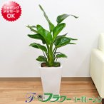 観葉植物 ストレリチア・オーガスタ スクエア陶器鉢植え 8号サイズ