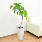 観葉植物 フィカス・ウンベラータ(ゴム) ロングスクエア陶器鉢植え 7号