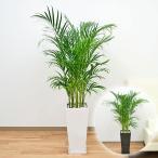観葉植物 アレカヤシ ロングスクエア陶器鉢植え 8号サイズ
