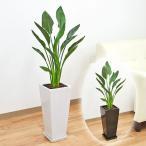 観葉植物 ストレリチア・レギネ ロングスクエア陶器鉢植え 7号