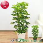 観葉植物 斑入りホンコンカポック セラート鉢植え