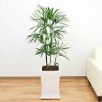 観葉植物 棕櫚竹(シュロチク) スクエア陶器鉢植え 8号サイズ