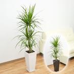 観葉植物 ドラセナ・コンシンネ(マジナータ) ロングスクエア陶器鉢植え 7号