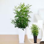 観葉植物 シルクジャスミン(ゲッキツ) ロングスクエア陶器鉢植え 7号