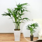 観葉植物 ケンチャヤシ スクエア陶器鉢植え 8号サイズ