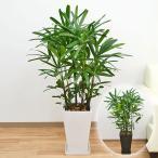 観葉植物 観音竹(カンノンチク) スクエア陶器鉢植え 8号サイズ