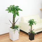 観葉植物パキラ寄せ植え スクエア陶器鉢