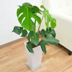 切れ込みの入った個性的な葉をした人気の観葉植物