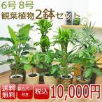 選べる観葉植物2鉢セット 8号6号 鉢カバー付き