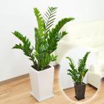 観葉植物 ザミオクルカス・ザミフォーリア スクエア陶器鉢植え 6号