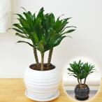 観葉植物 ドラセナ・コンパクター ボール型陶器鉢植え 5号