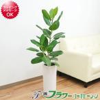 観葉植物 フィカス・ベンガレンシス(ベンガルゴム) 円柱形陶器鉢植え 7号サイズ