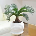 観葉植物 蘇鉄(ソテツ) ボール型陶器鉢植え