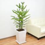 観葉植物 アローカリア(シマナンヨウスギ) スクエア陶器鉢植え 8号