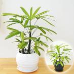 観葉植物 観音竹(カンノンチク) 綾錦 ボール型陶器鉢植え 5号