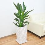観葉植物 ストレリチア・レギネ ウェーブスクエアポール陶器鉢植え おしゃれ 大型 お祝い 8号サイズ