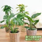 選べる観葉植物・鉢カバー 7号サイズ