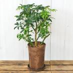 観葉植物 シェフレラ・コンパクタ エコ鉢