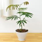 観葉植物 エバーフレッシュ(ネムノキ) ホワイトすり鉢形陶器鉢植え