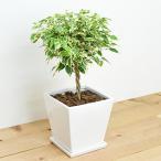観葉植物 ベンジャミン・スターライト(斑入り) スクエア陶器鉢植え