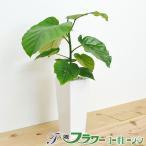 観葉植物 フィカス・ウンベラータ(ゴム) スクエア陶器鉢植え