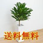 ショッピング陶器 観葉植物 ドラセナ・コンパクタ スクエア陶器鉢植え