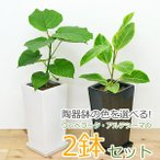 観葉植物 フィカス・ウンベラータ フィカス・アルテシーマ スクエア陶器鉢植え 2鉢セット