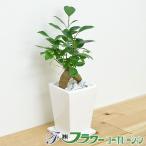観葉植物 ガジュマル スクエア陶器鉢植え 3号