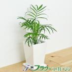 観葉植物 テーブルヤシ スクエア陶器鉢植え 3号