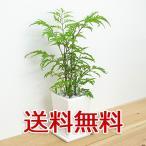 観葉植物 ポリシャス スクエア陶器鉢植え 3号