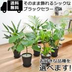 観葉植物 選べる品種7号サイズ おしゃれ 御祝い ブラックセラート鉢