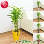 観葉植物 ミリオンバンブー 万年竹 おしゃれ お祝い 大型 カラースクエアポット 6号