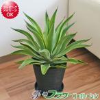 観葉植物 アガベ・ベネズエラ 多肉植物 おしゃれ お祝い 大型 7号 ブラックセラート鉢