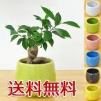 ショッピング陶器 ミニ観葉植物 ガジュマル(多幸の木)陶器鉢付き(ハイドロカルチャー)