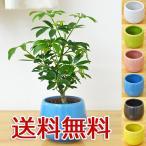 ミニ観葉植物 ホンコンカポック(シェフレラ)陶器鉢付き(ハイドロカルチャー)