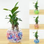 ミニ観葉植物 ガジュマル(多幸の木) スフィアガラス ゼリー植え