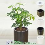 ミニ観葉植物 ホンコンカポック ハイドロカルチャースタイリッシュ陶器鉢付き
