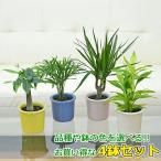 観葉植物ミニ ハイドロカルチャー 4鉢セット おしゃれ お祝い パステルカラー陶器鉢付き