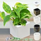 ミニ観葉植物 ポトス ハイドロカルチャースタイリッシュ陶器鉢付き