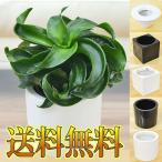 ミニ観葉植物 ドラセナ・コンパクタ・トルネード ハイドロカルチャースタイリッシュ陶器鉢付き