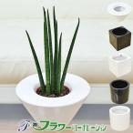 送料無料!育てやすいハイドロカルチャー(水耕栽培)の観葉植物