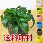 ミニ観葉植物 ドラセナ・コンパクタ・トルネード陶器鉢付き(ハイドロカルチャー)
