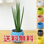 ミニ観葉植物 サンスベリア・バキュラリス陶器鉢付き(ハイドロカルチャー)