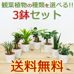 ミニ観葉植物 ハイドロカルチャー(水耕栽培) ブリキポット 3鉢セット 水位計付き