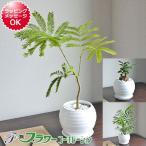 観葉植物 選べる品種(エバーフレッシュ ガジュマル テーブルヤシ) ボール形陶器鉢植え